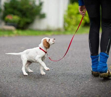 Blog post: Leash training your new puppy - primary image