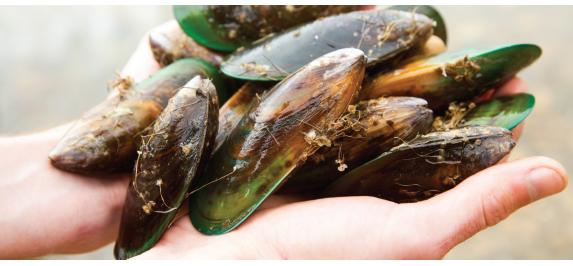Blog post: Green-Lipped Mussels - primary image