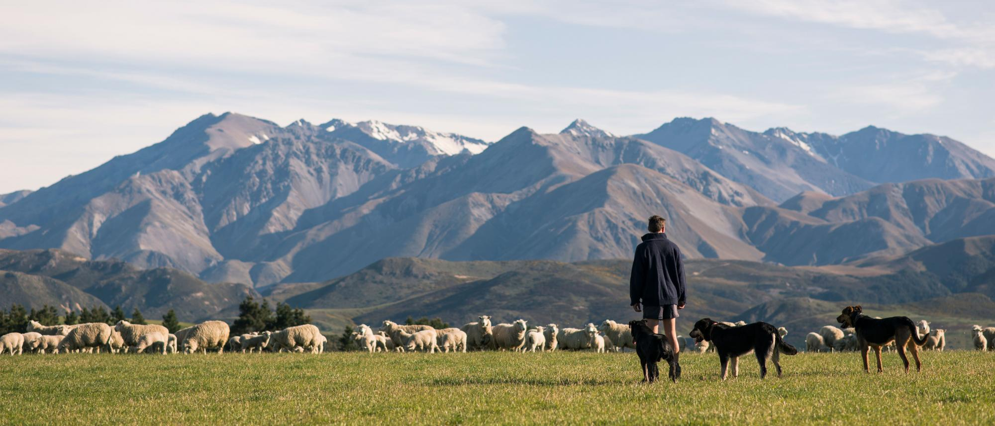 NZ farmer with dogs and sheep