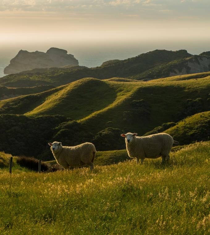 New Zealand mutton on a hill by the ocean