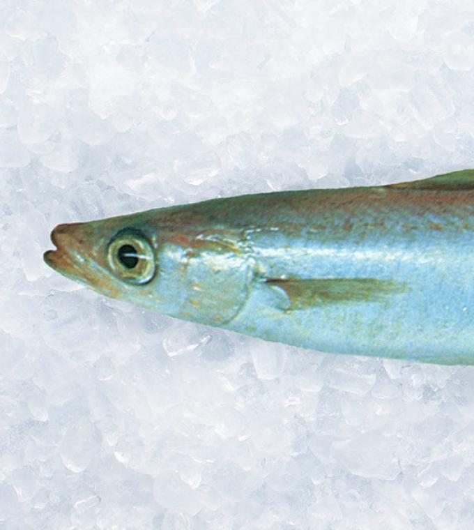 New Zealand Southern Blue Whiting on ice